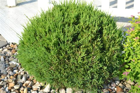 sea green juniper shrubs pinterest shrub evergreen
