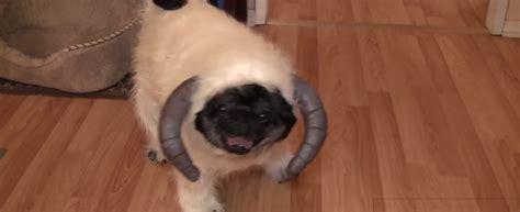 chubbs the pug chubbs the pug s wars costume i pets
