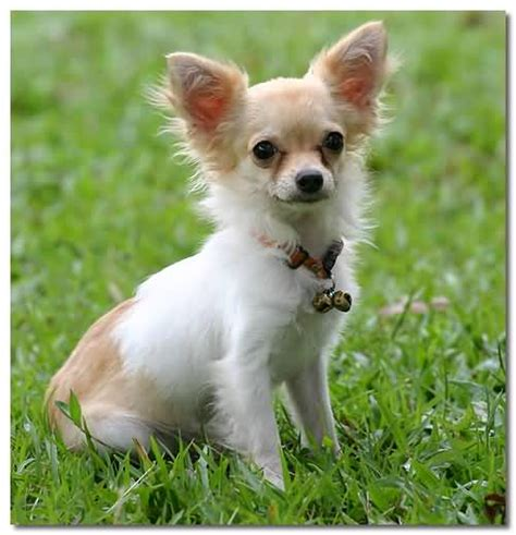 baby chihuahua puppies 55 cutest chihuahua dogs for home golfian