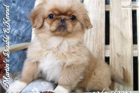 pekingese puppies for free pekingese puppy for sale near williamsport pennsylvania 25aba0aa d591