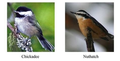 eavesdropping nuthatches understand chickadees living