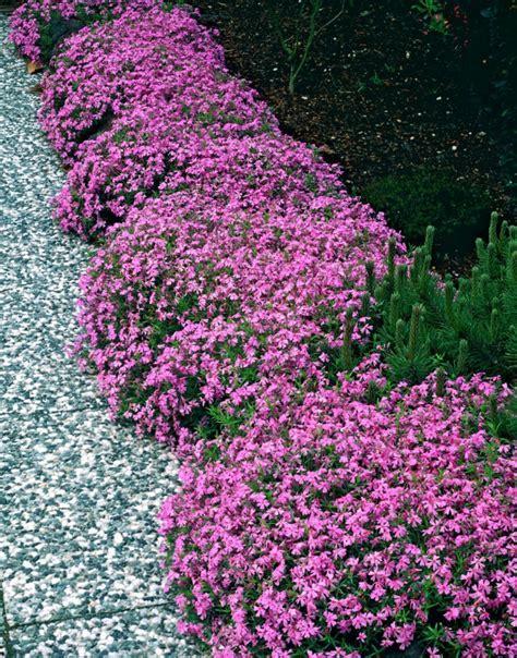 wann garten bepflanzen teppich phlox wann pflanzen 20551820170610 blomap