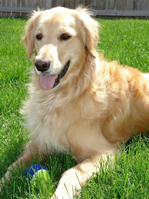 golden retriever biting breeds with least bites on record vills