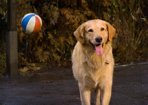 air bud the dog is in the house you d never guess it but the dog that played in air bud also starred in a huge 90s