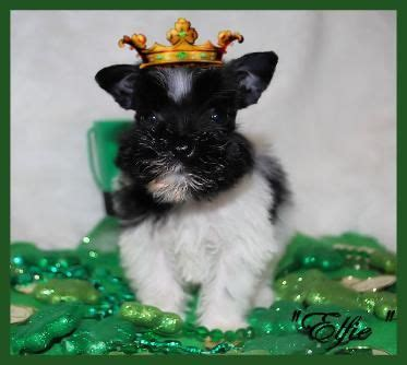 puppies for sale in southern california 9 best images about schnauzer on arizona schnauzer puppy and
