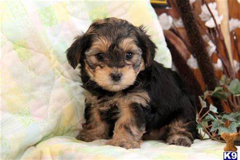 yorkie mixed breeds for sale mixed breed puppy for sale ruby yorkie poo 4 years