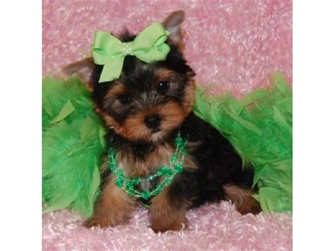 teacup yorkie free adoption teacup yorkies for free adoption www imgkid the image kid has it