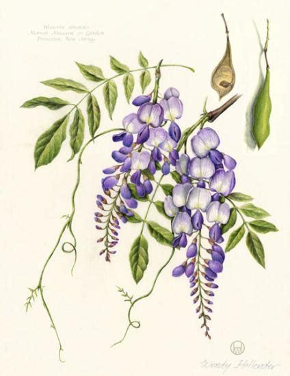 classic sketchbook botanicals secrets 1631591398 wendy hollender american society of botanical artists pintura botanicals