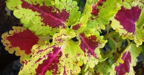 Jual Lu Hias Unik Murah jual tanaman bayam hias unik murah di denpasar tanaman