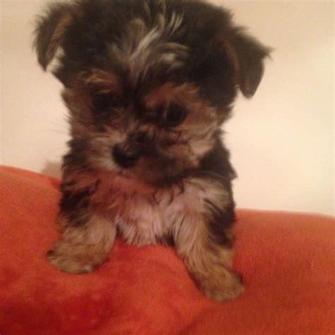 yorkie puppies for sale essex maltese terrier puppies for sale basildon essex pets4homes