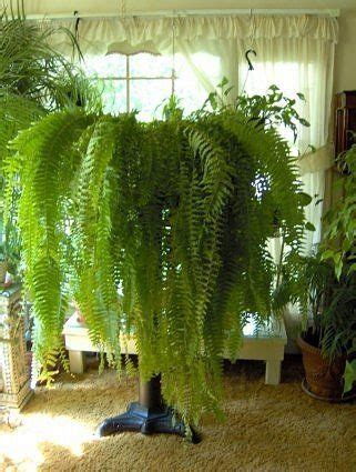 boston fern low light boston fern these houseplants act as humidifiers they
