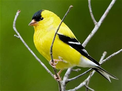 image gallery new jersey state bird