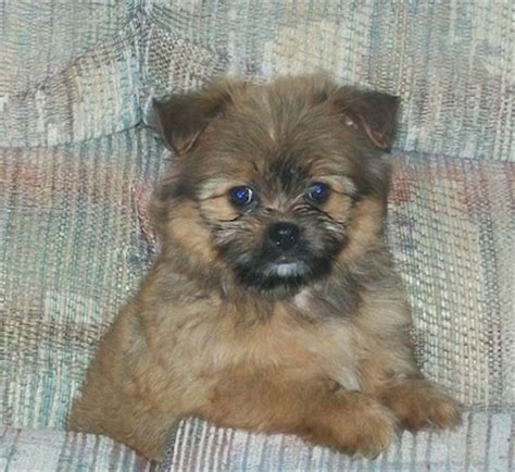 pomeranian mix with shih tzu shiranian breed information and pictures