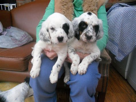 english setter dogs for sale uk two english setter boy pups solihull west midlands