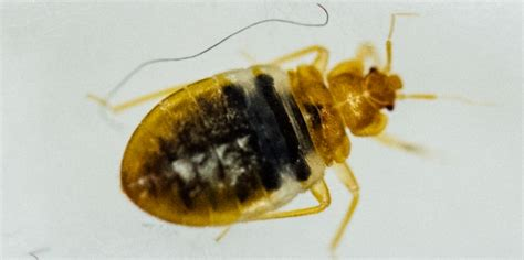 types of bed bugs types of bed bugs 28 images are there different types of bed bugs file bed bug