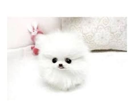 teddy pomeranian breeder teddy white pomeranian puppies animals california city california