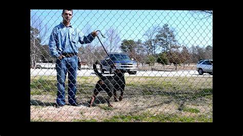 black jade rottweilers black jade rottweilers 5th anniversary