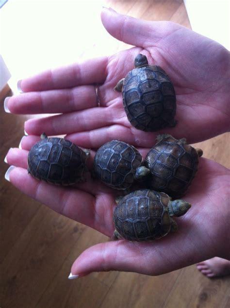 baby med spur thigh tortoises  sale  bridgend gumtree