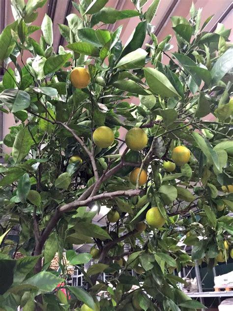 serra per limone in vaso limoni piante albero piante pianta di limone stagioni in