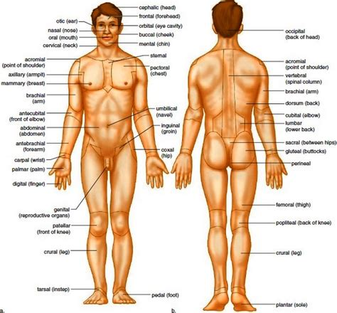 sections of body anatomical terms