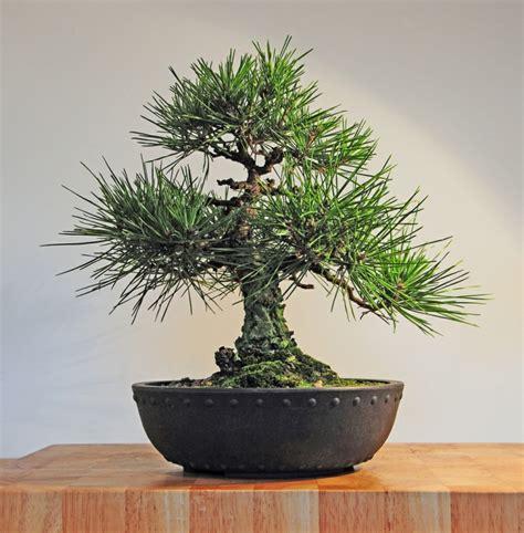 Wie Pflege Ich Einen Bonsai Baum 4451 by Bonsai Baum Pflege Sorgen Sie F 252 R Eine Sch 246 Ne Pflanze