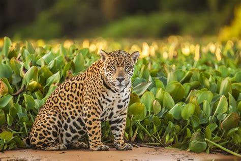 imagenes jaguar you meet el jefe the only known jaguar living in the united