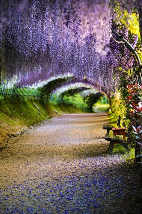wisteria flower tunnel japan travel me places 3