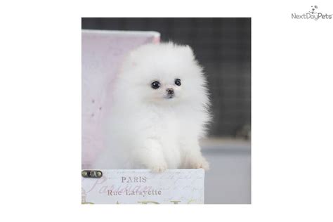 teacup pomeranian prices white teacup pomeranian price