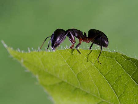 come combattere le formiche in giardino allontanare le formiche dal giardino con il caff 232