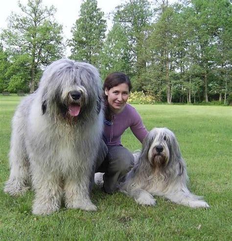 large russian breeds russian breed large breed dogs spinningpetsyarn