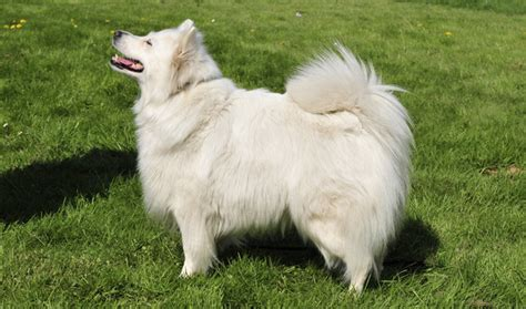 german spitz puppies german spitz breed information