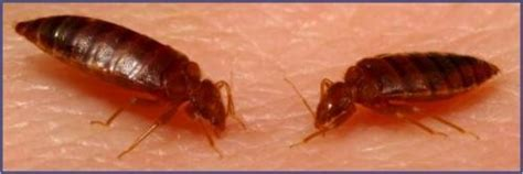 bed bugs hawaii crispy critters hawaii pest control board approves