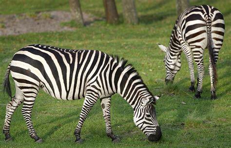 zebra pattern facts zebras