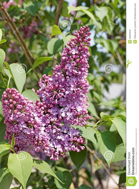 blooming lilac flowers stock photography image 30823942