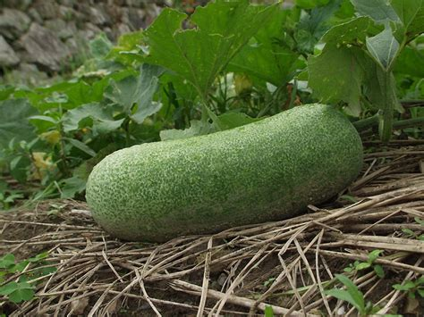winter melon health benefits nutrition uses and calories