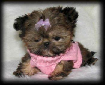 pocket shih tzu 17 best ideas about shih tzu on shih tzu puppy shih tzu and baby shih tzu