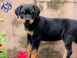 dachshund rottweiler rottweiler dachshund mix rottie doxie hybrid 34 breeds picture