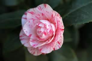 free photo camellia flower pink free image on pixabay