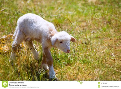 the l by lambs baby newborn sheep standing on grass field royalty