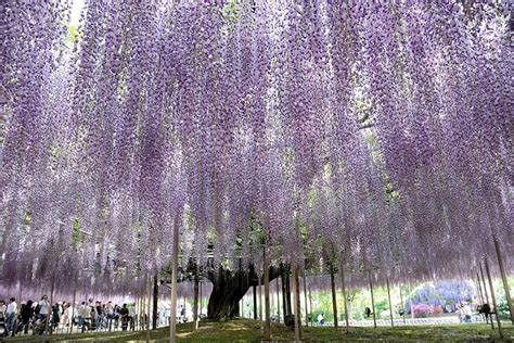 wisteria tunnels tokyo wisteria tunnel japan