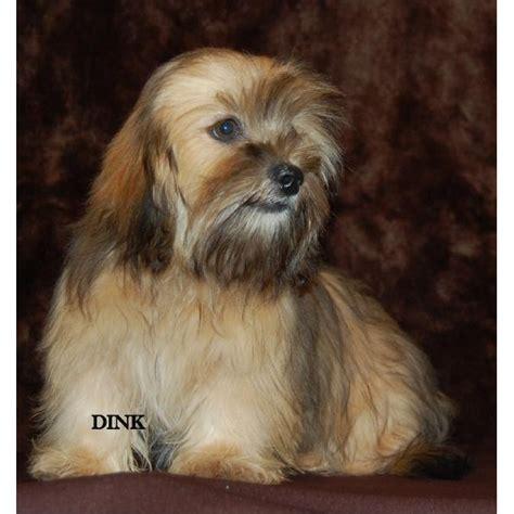 shih tzu dotson mix miniature dachshund shih tzu mix images