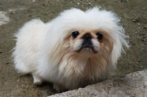 pictures of pekingese dogs pekingese breed 187 information pictures more
