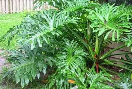 memilih tanaman hias daun mediatani