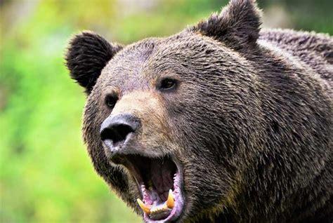 oso pardo oso pardo 0805069011 oso pardo tipos subespecies 191 qu 233 comen 191 d 243 nde viven