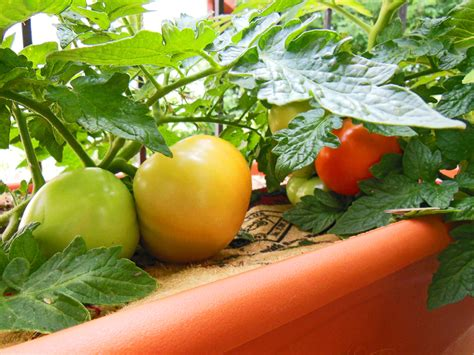 Backyard Tomatoes by How To Plant A Tomato Rip Ralph S Arms Garden