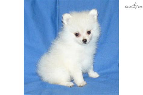 4 lb pomeranian pomeranian puppy for sale near springfield missouri bf59c06e 0011