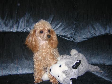 lifespan of mini poodle mini poodle grown size photo