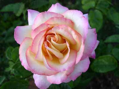 image gallery hybrid tea rose