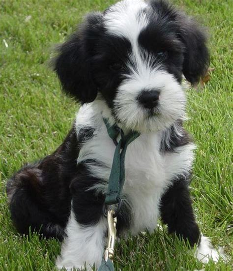 Small Breeds No Shed by Why Are Small Breeds Popular Anyway Get The Scoop On Small Breeds That Are With