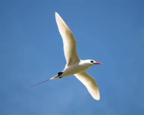 easter island birds tropicbirds
